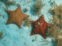 sjöstjärna Arkivfoton