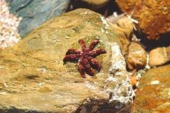 Sjöstjärna en stenen Royaltyfria Foton