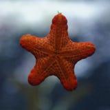 Sjöstjärna i akvarium Arkivbild