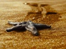 Sjöstjärna i guld- sander Royaltyfria Bilder