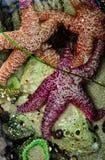Sjöstjärna- och havsanemoner Royaltyfri Fotografi