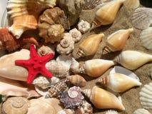 Sjöstjärna och skal royaltyfri fotografi