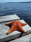 Sjöstjärna på en dock Arkivbild