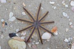 Sjöstjärna på strand Royaltyfria Bilder