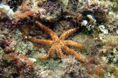 Sjöstjärna som omges av havsväxt Arkivfoton
