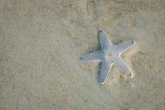Sjöstjärnakrypning på våt sand Royaltyfria Foton