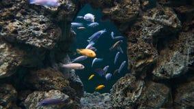 Sjötanganyika landskap med mycket färgrika fiskcichlids royaltyfria bilder