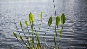 Sjöväxter i Lake County Clermont Florida Arkivfoton