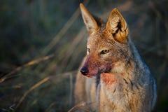 Sjakalstående med blod Sydafrika arkivfoton