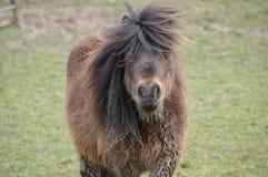 Sjaskig ponny Arkivbilder