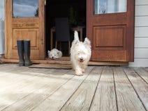 Sjaskig westiehund som går ut ur öppen lantbrukarhemdörr på däck fotografering för bildbyråer