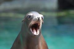 Sjölejon med hans öppna munsned boll Royaltyfri Fotografi