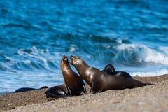 Sjölejon på stranden i Patagonia Arkivfoto