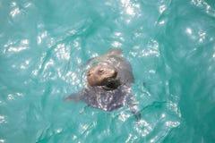 Sjölejon som spelar i vatten, Venedig strand, Kalifornien, USA Arkivbilder