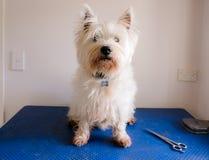 Sjofele vuile witte de terriër westie hond van het het westenhoogland bij het verzorgen Stock Fotografie