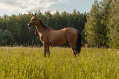 Séjour de cheval dans le domaine d'herbe Images stock
