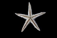 Sjöstjärna på svart bakgrund Royaltyfri Bild