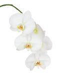 Sju - dag gamla vita Ochid som isoleras på vit bakgrund Royaltyfria Foton