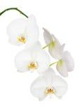 Sju - dag gamla vita Ochid som isoleras på vit bakgrund Royaltyfri Bild