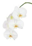 Sju - dag gamla vita Ochid som isoleras på vit bakgrund Fotografering för Bildbyråer
