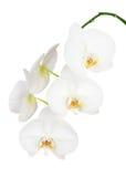 Sju - dag gamla vita Ochid som isoleras på vit bakgrund Royaltyfria Bilder