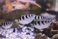 Sju-fläck archerfish eller largescale archerfish Arkivfoto