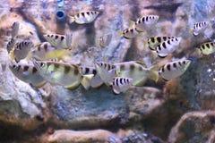 Sju-fläck archerfish eller largescale archerfish Arkivbilder