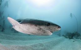 Sju Gill Shark Fotografering för Bildbyråer
