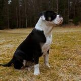 Sju månad valp av den gamla engelska bulldoggen, i roligt uttryck royaltyfria foton