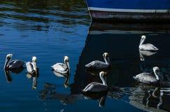 Sju pelikan Tarpon Springs Fl Arkivbilder
