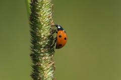 Sju-prickig dam Beetle Fotografering för Bildbyråer