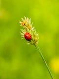 Sju-prickig nyckelpiga på en culm på en mjuk grön bakgrund Fotografering för Bildbyråer