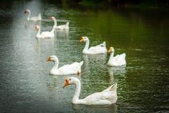 Sju svanar som simmar i sjön Arkivbilder