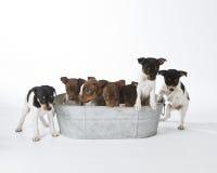 Sju tjaller Terriervalpar Royaltyfria Foton