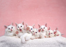 Sju vita kattungar i säng, en som ut når till tittaren Arkivbild