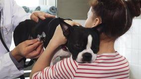 Sjuk Boston Terrier valp som undersöks av en yrkesmässig veterinär