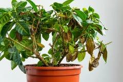 Sjuk gardeniaväxt med fallande gulingsidor på grund av parasit, vatten eller fel temperatur Arkivfoto