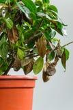 Sjuk gardeniaväxt med fallande gulingsidor på grund av parasit, vatten eller fel temperatur Royaltyfria Bilder