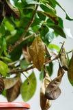 Sjuk gardeniaväxt med fallande gulingsidor på grund av parasit, vatten eller fel temperatur Arkivbilder