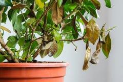 Sjuk gardeniaväxt med fallande gulingsidor på grund av parasit, vatten eller fel temperatur Royaltyfria Foton