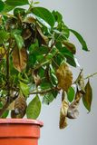 Sjuk gardeniaväxt med fallande gulingsidor på grund av parasit, vatten eller fel temperatur fotografering för bildbyråer
