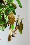 Sjuk gardeniaväxt med fallande gulingsidor på grund av parasit, vatten eller fel temperatur Royaltyfri Bild