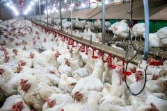 Sjuk höna eller ledsen höna i lantgården, epidemi, fågelinfluensa arkivbilder