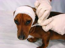 sjuk hund Royaltyfri Fotografi