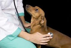 sjuk hund arkivfoton