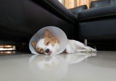 Sjuk hund med kragen Arkivfoton