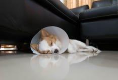 Sjuk hund med kragen Fotografering för Bildbyråer