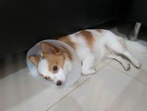 Sjuk hund med kragen Royaltyfri Bild