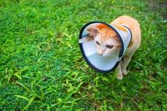Sjuk katt i skyddande krage på grönt gräs Sårat kattfoto Arkivfoton