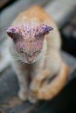 Sjuk katt med hudsjukdomen Royaltyfri Bild